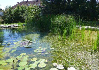 Seerosen & Unterwasserpflanzen am Schwimmteich